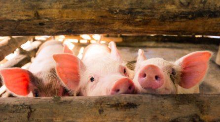 Kiedy warto podawać zwierzętom hodowlanym witaminę C?